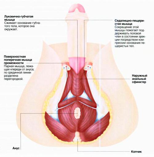 Мышцы связанные с половым органом мучины